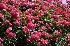 Чашка зацветает розовый подняла в сад Стоковое Фото