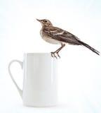 чашка птицы устраиваясь удобно wagtail Стоковые Фото