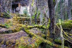 Чаща в coniferous лесе Стоковое Фото