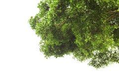 Чаща деревьев сняла снизу на белой предпосылке Стоковая Фотография