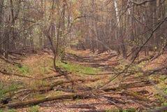 Чаща леса Старый валить лес Стоковое Изображение