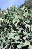Чаща кактуса шиповатой груши Стоковая Фотография RF