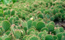 Чаща кактусов шиповатой груши Стоковое фото RF