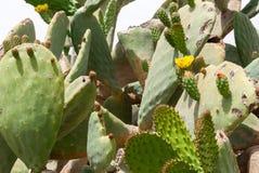Чаща Opuntia Tzabar кактуса фикус-indica в пустыня Негев Стоковые Фотографии RF