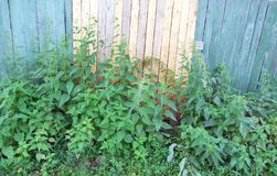 Чащи крапивы на загородке стоковое изображение rf