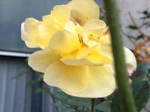 Ча-Роза Стоковые Изображения