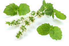 Чеканьте зеленые растения на белой предпосылке, свойства лист пипермента ароматичные сильных зубов Стоковая Фотография RF