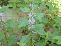 Чеканьте цветок в лесе с фиолетовым цветением стоковые изображения rf