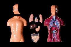 человек анатомирования Стоковое Изображение RF