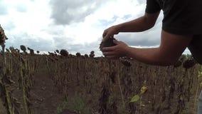 Человек выбирает вверх семена подсолнуха сток-видео