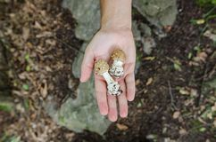 Человек держа в его грибах ладони - сцена осени от Европы стоковые изображения rf