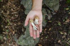 Человек держа в его грибах ладони - сцена осени от Европы стоковое изображение rf