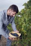 Человек держа группы виноградин соломенной шляпы полные Стоковые Фото