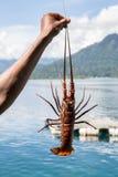 Человек держа омара стоковые изображения