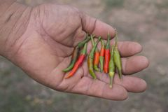 Человек держа свежие красные и зеленые перцы chili стоковая фотография