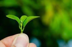 Человек держит свежие зеленые листья в саде стоковые изображения
