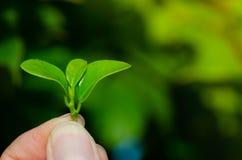 Человек держит свежие зеленые листья в саде стоковые изображения rf