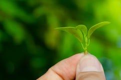 Человек держит свежие зеленые листья в саде стоковое фото rf