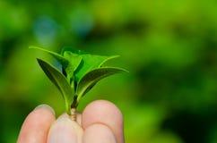 Человек держит свежие зеленые листья в саде стоковые фотографии rf