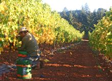 человек жать виноградин Стоковое Фото