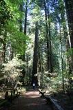 Человек идя через гигантские redwoods Стоковые Изображения