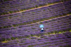 Человек изолированный в поле levender на Valensole, Провансали, Франции стоковые изображения rf