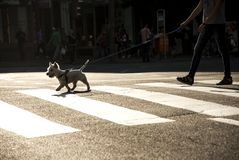 Человек и его улица скрещивания собаки Стоковое фото RF