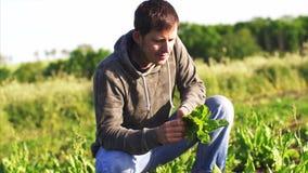 Человек комплектует щавель на поле сидел на корточках вниз и ест свежие листья сток-видео