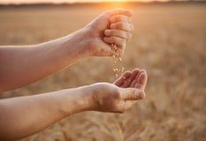 Человек льет пшеницу из рук в руки на предпосылке fie пшеницы Стоковые Изображения