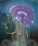 человек мозга анатомирования бесплатная иллюстрация