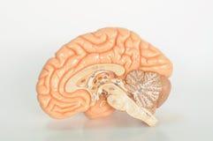 человек мозга анатомирования Стоковое Фото