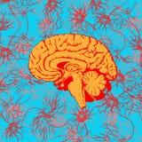 человек мозга Стоковая Фотография RF