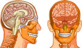 человек мозга Стоковые Изображения