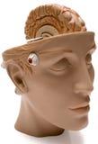 человек мозга Стоковые Фотографии RF