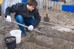 Человек на даче для того чтобы засадить картошки Стоковое Изображение