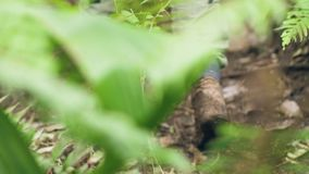 Человек ног туристский в trekking шагах ботинок на грязную тропу в человеке зеленого леса туристском с рюкзаком путешествуя внутр видеоматериал
