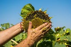 Человек пробует семена подсолнуха в его руке, анализирующ наполненность и качество Концепция удобрения, предохранение от завода стоковые изображения