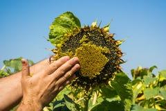 Человек пробует семена подсолнуха в его руке, анализирующ наполненность и качество Концепция удобрения, предохранение от завода стоковое фото