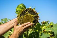 Человек пробует семена подсолнуха в его руке, анализирующ наполненность и качество Концепция удобрения, предохранение от завода стоковая фотография rf