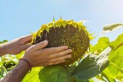 Человек пробует семена подсолнуха в его руке, анализирующ наполненность и качество Концепция удобрения, предохранение от завода стоковые фото