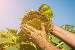 Человек пробует семена подсолнуха в его руке, анализирующ наполненность и качество Концепция удобрения, предохранение от завода стоковое фото rf