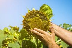 Человек пробует семена подсолнуха в его руке, анализирующ наполненность и качество Концепция удобрения, предохранение от завода стоковые изображения rf