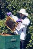 Человек работает в пасеке собирая мед пчелы Стоковые Изображения RF