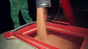 Человек разгржает зерно мозоли от прицепа для трактора в силосохранилище видеоматериал