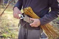 Человек связывая лозы используя старый метод Стоковые Изображения