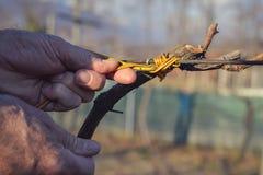 Человек связывая лозы используя старый метод Стоковая Фотография