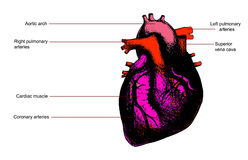 человек сердца анатомирования Стоковое Фото
