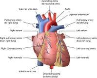 человек сердца иллюстрация штока
