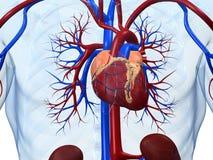 человек сердца Стоковые Фотографии RF