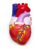 человек сердца Стоковая Фотография RF